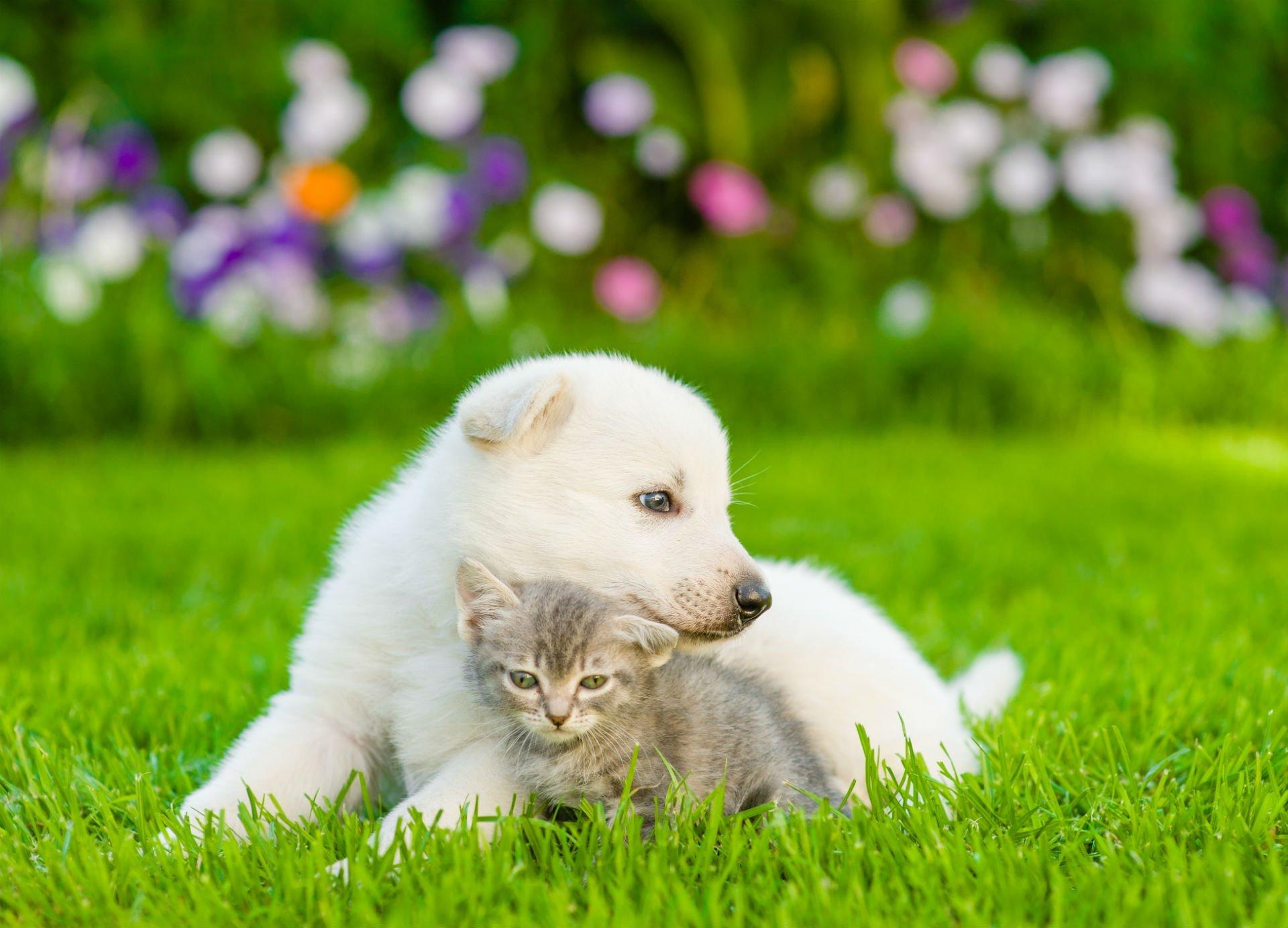 un cagnolino bianco vicino a un gattino grigio sdraiati su un prato