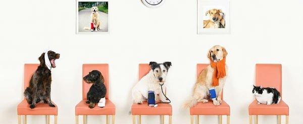 dei cani e un gatto su delle sedie rosa con delle fasciature