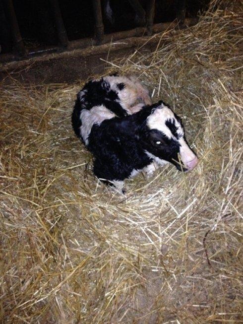 allevamento vitellini