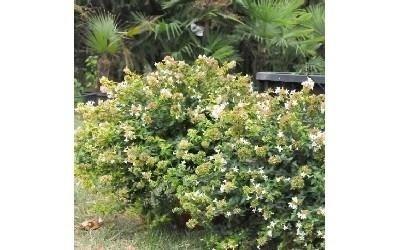 Alberi da giardino reggio emilia azienda agricola for Arbusti ornamentali
