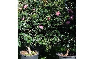Alberi ornamentali Azienda agricola Vivai Piante