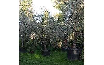 Arbusti Decorativi Da Giardino : Alberi da giardino reggio emilia azienda agricola vivai piante