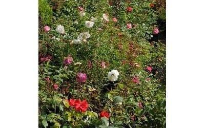 Rose da giardino Azienda agricola Vivai Piante