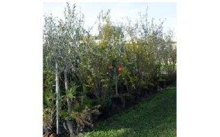 piante di ulivo Azienda agricola Vivai Piante