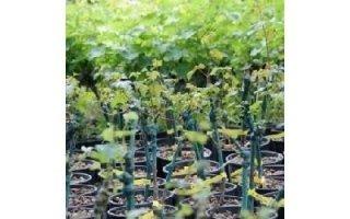 distribuzione viti in vaso Azienda agricola Vivai Piante