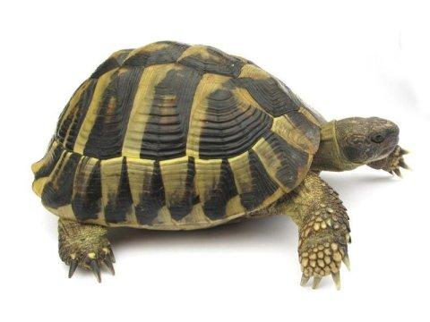 Visite veterinarie per tartarughe terrestri