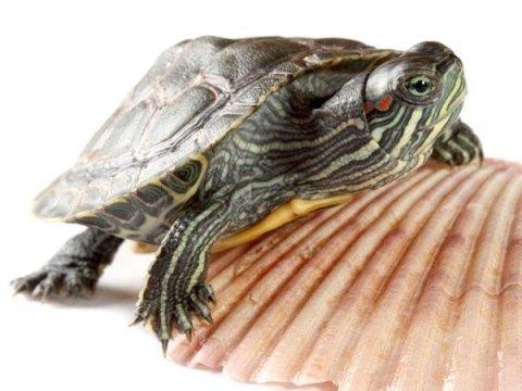 Visite veterinarie per tartarughe d'acqua dolce