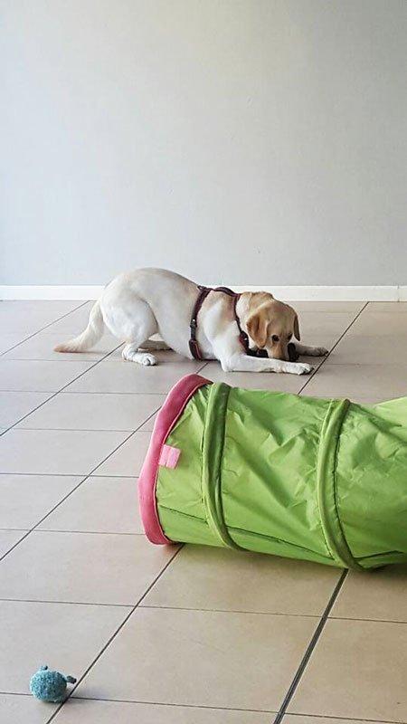 un cucciolo di labrador sdraiato sul pavimento e un tunnel giocattolo di color verde