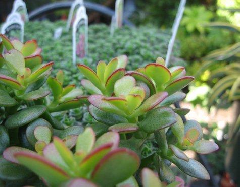 Succulent Plant San Francisco, CA