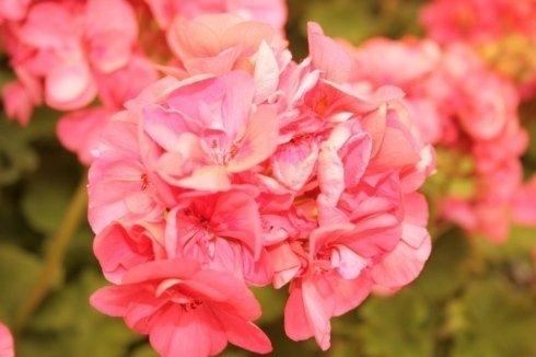 particolare di un fiore rosa