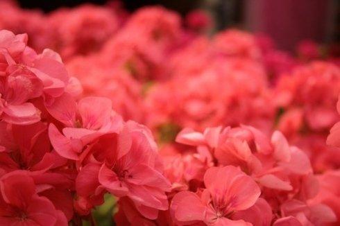 fiore rosa