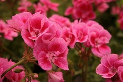 fiori con petali rosa