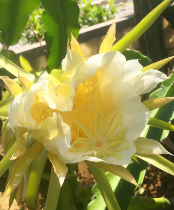 fiore giallo che sboccia