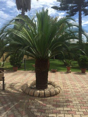 palma nana in un giardino