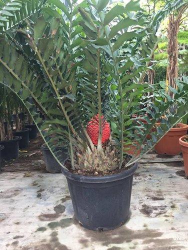 palma in fioritura