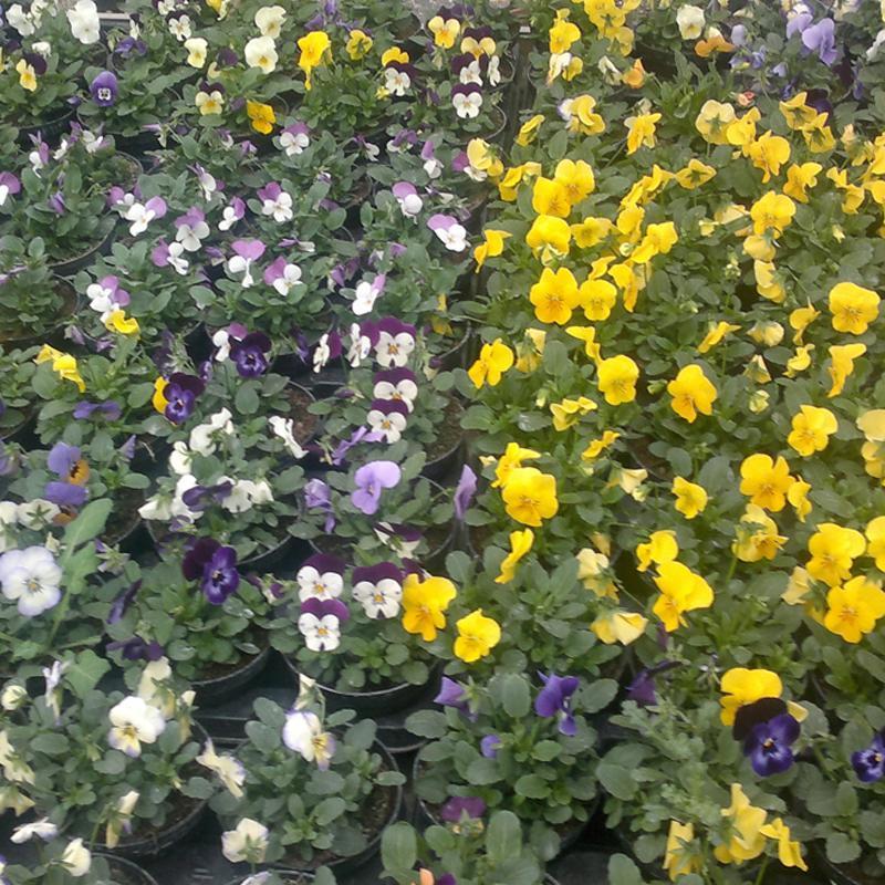 un insieme di fiorellini gialli, bianchi e viola