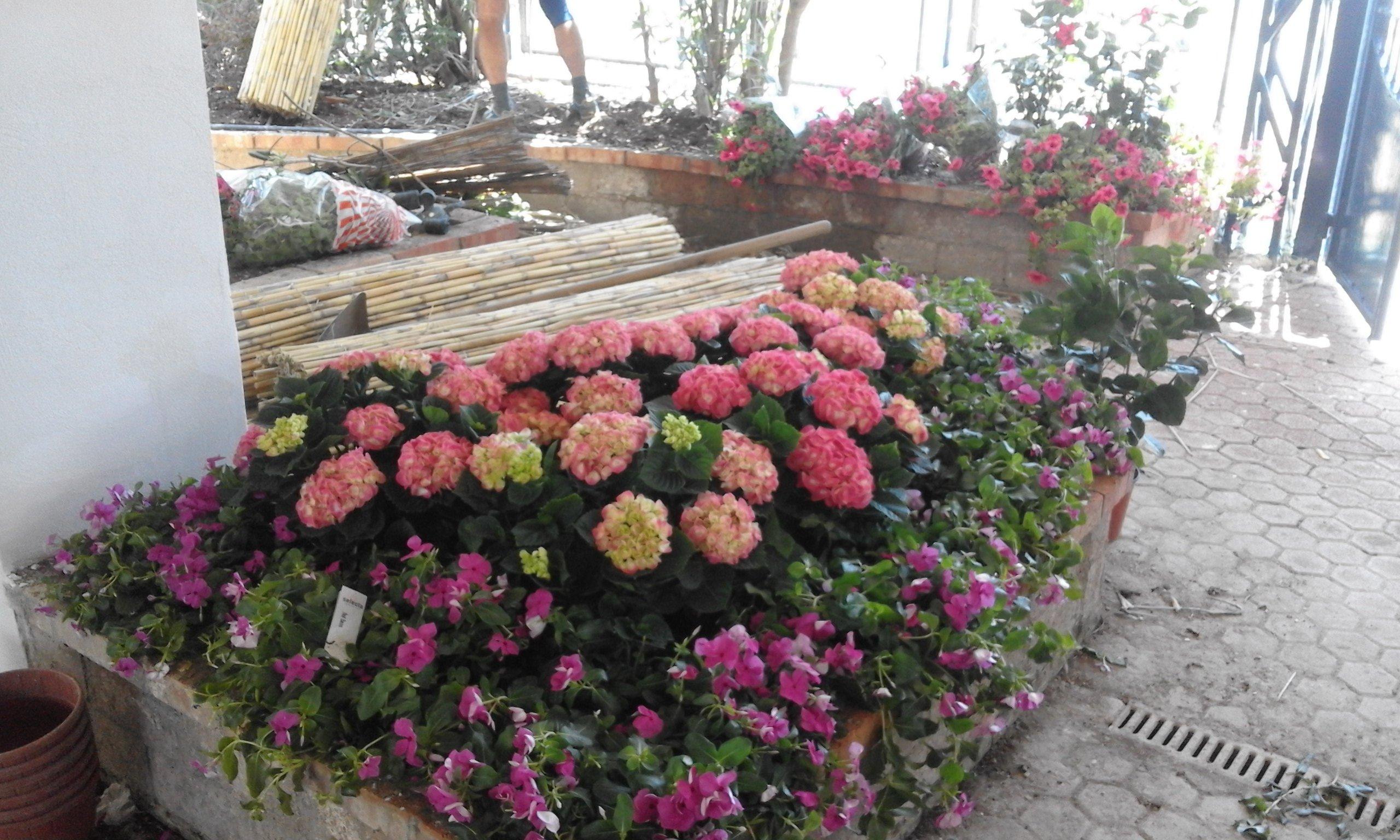 delle ortensie rosa e fiori viola in una serra