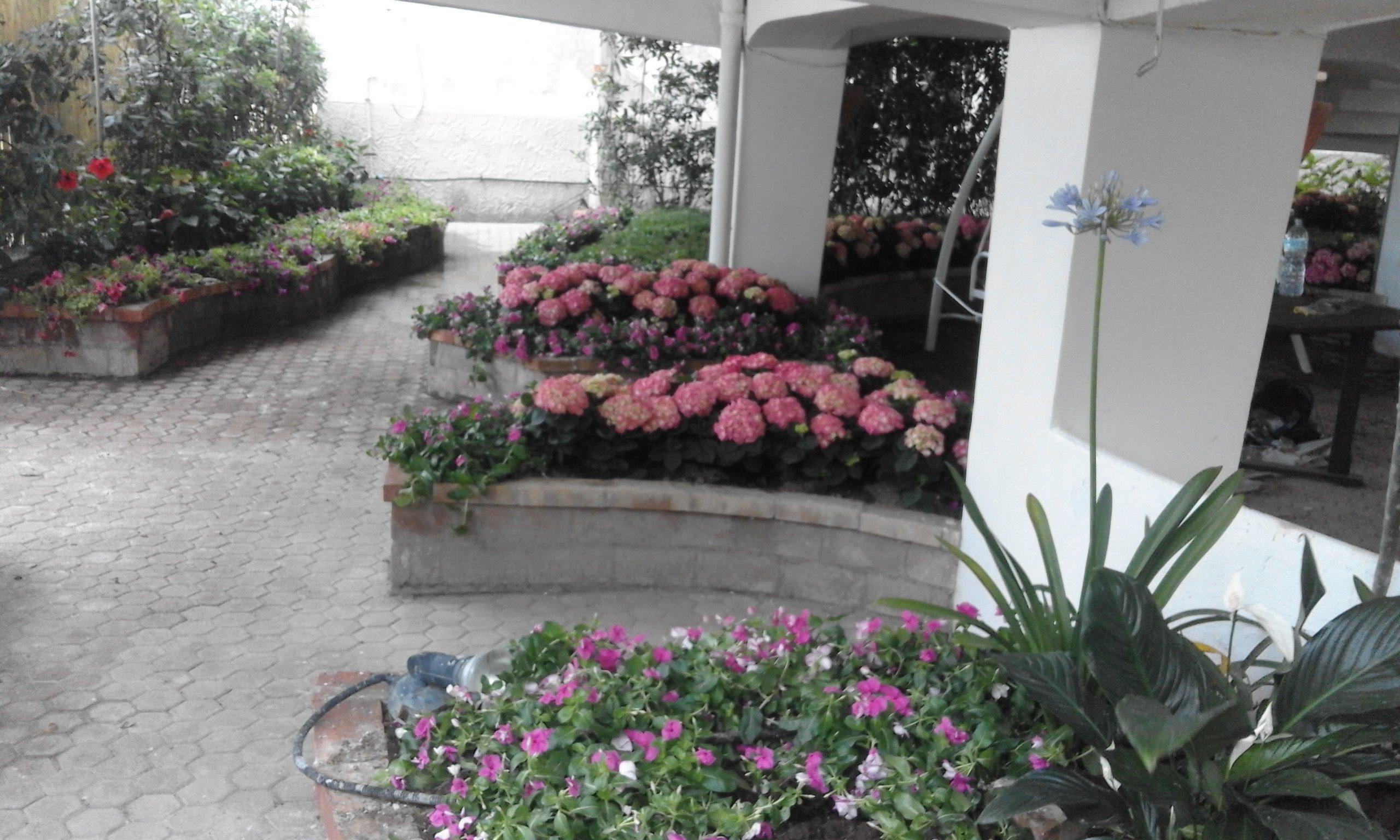 delle ortensie rosa interrate dietro a un muretto