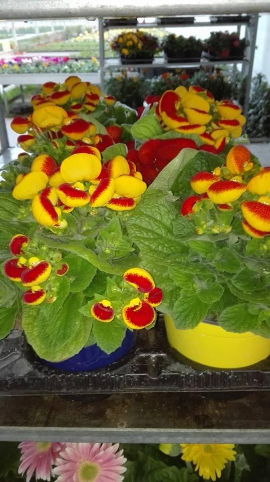 delle primule gialle e rosse dentro a dei vasi in uno scaffale di ferro