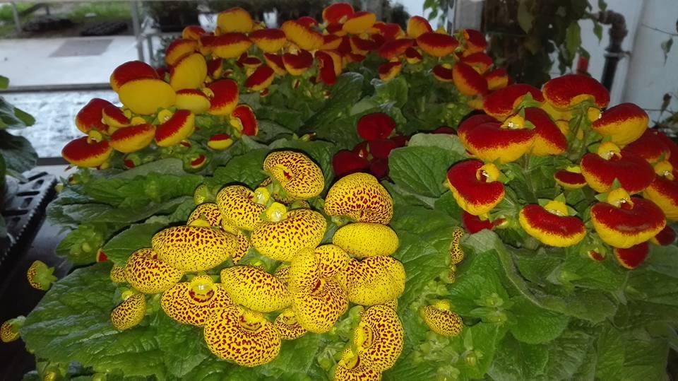 delle primule gialle e rosse viste da vicino e un'altra pianta con dei fiori gialli a puntini bordeaux