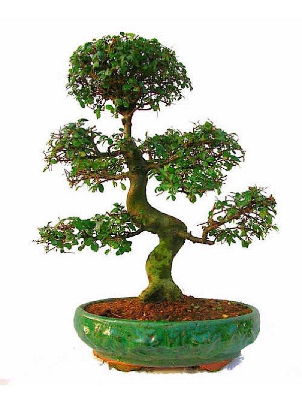 bonsai zelkowa