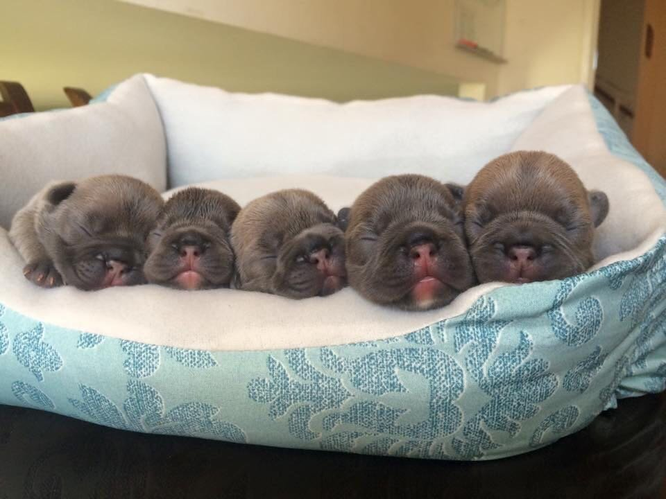 Blue French Bulldog Breeding I Cuccioli Di Carlotta