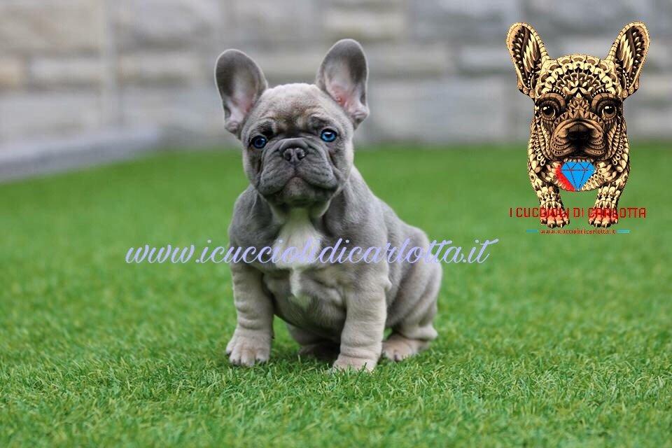 Blue French Bulldog Breeding | I Cuccioli di Carlotta