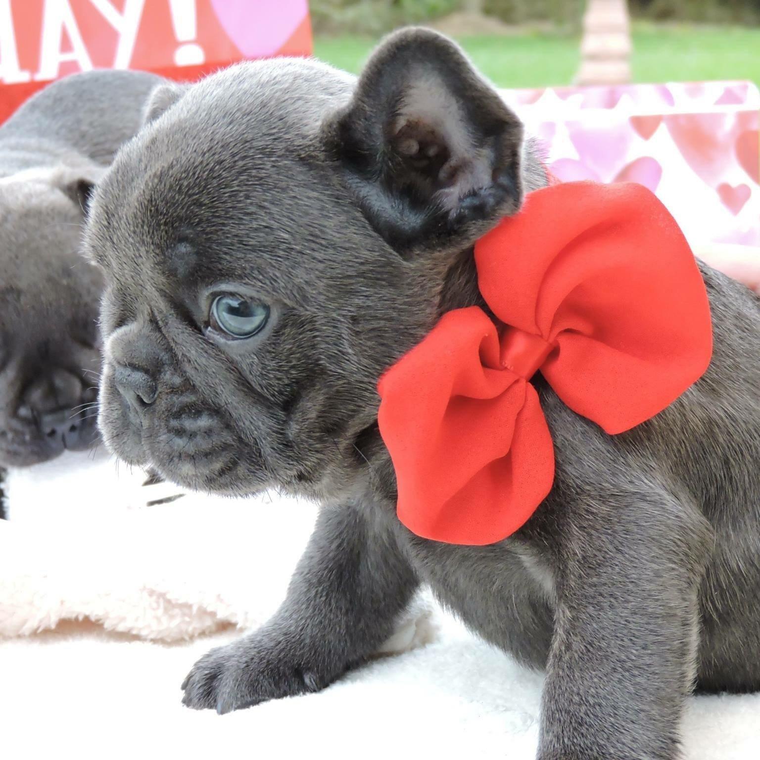 Allevamento Bulldog Francese Blu I Cuccioli Di Carlotta
