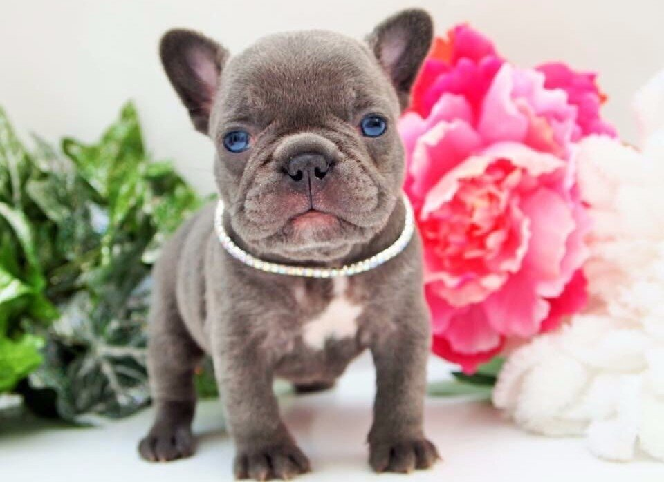 Bulldog francesi ed inglesi i cuccioli di carlotta for Bouledogue inglese