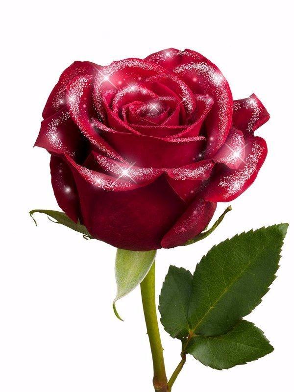 Secretary's day diamond rose