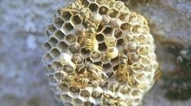 eliminazione favi vespe