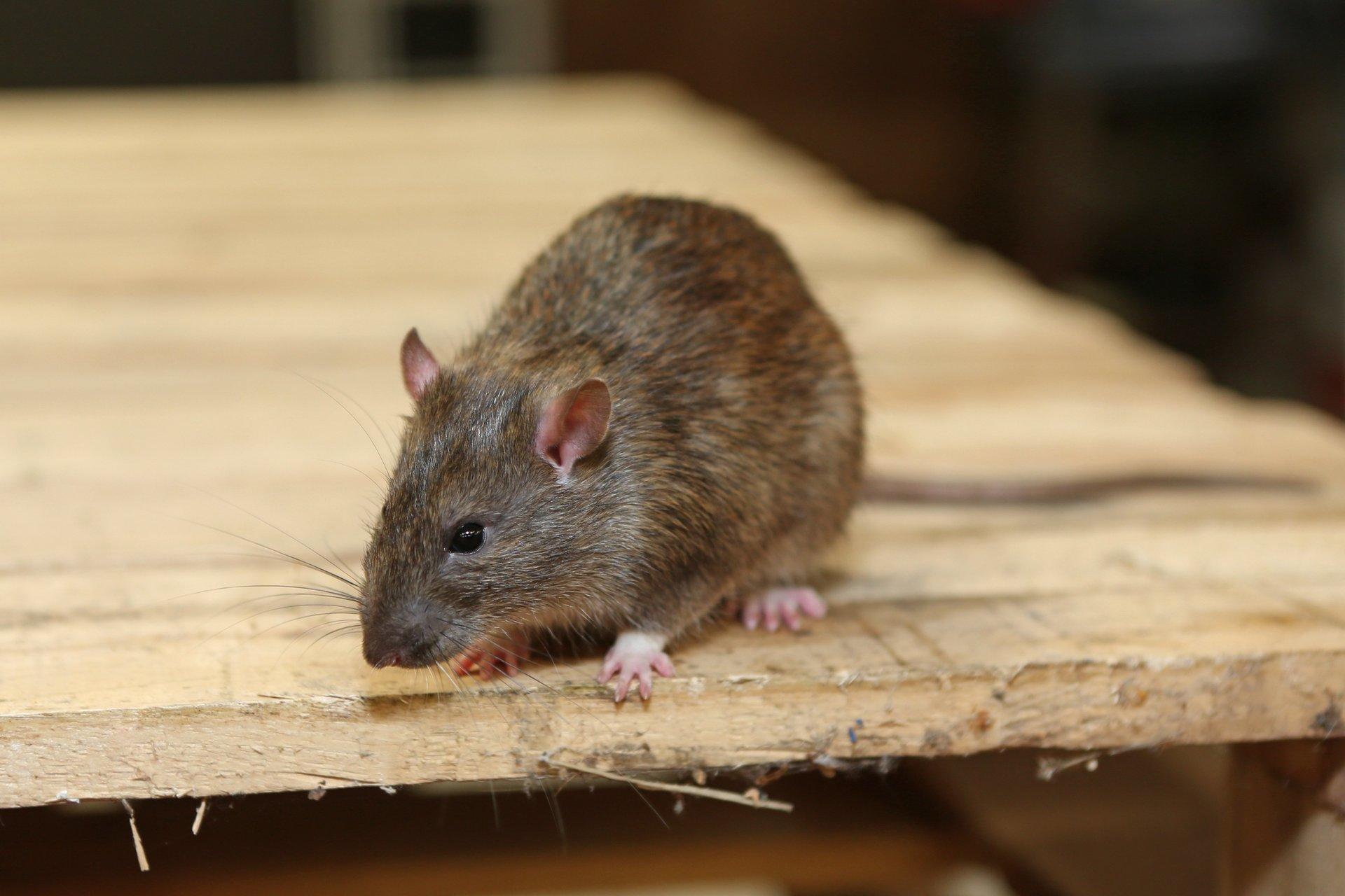 The Rat Details