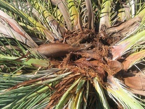potatura foglie palma