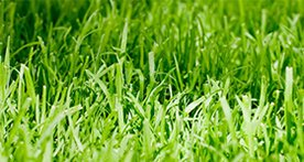 quality turf soft and durable grass