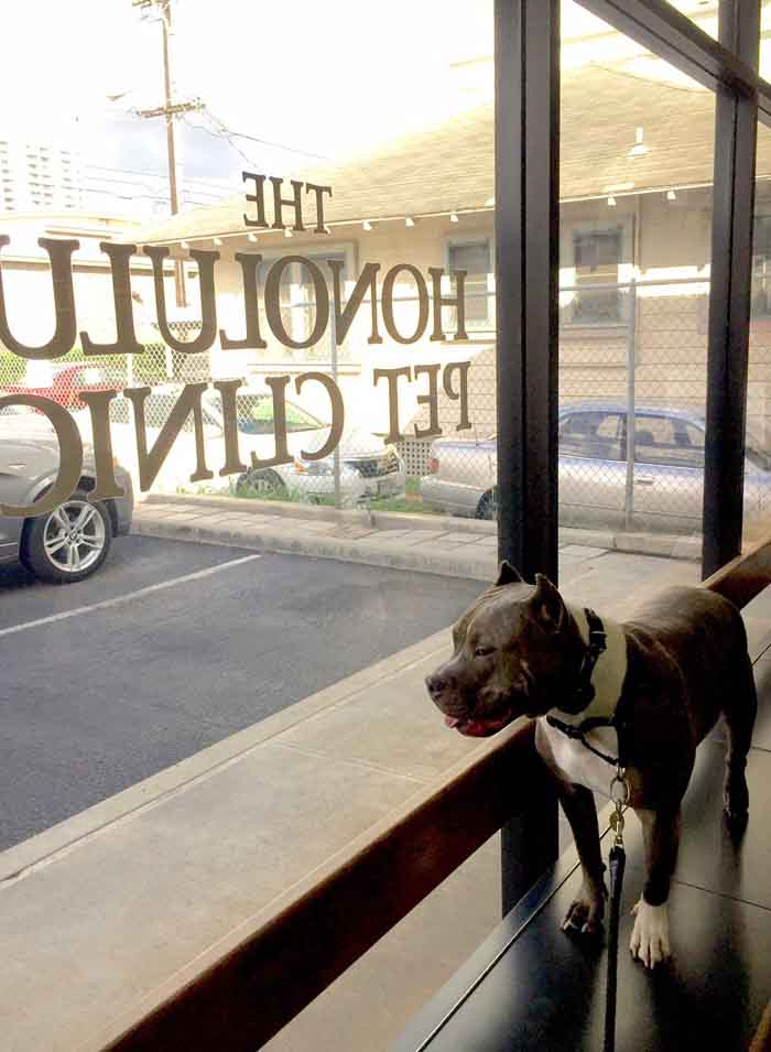 Dog looking out of the clinic window in Honolulu