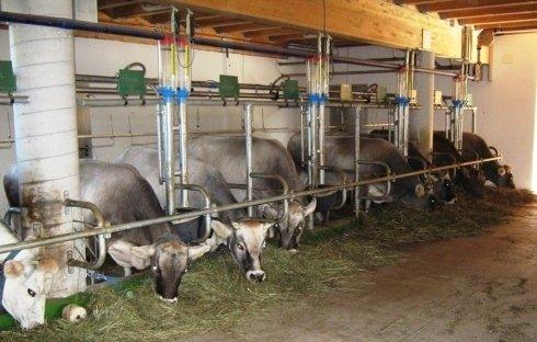 mucche-in-stalla