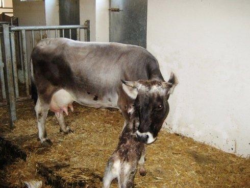 la-mucca-con-il-suo-piccolo