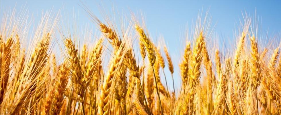 molitoria del grano