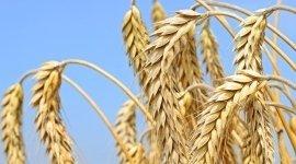 farine di grano tenero