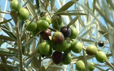 ramo di ulivo con olive