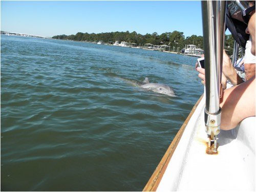 Friendly Bottlenose Dolphin swimming behind our tour boat (Dolphin & Nature Tour, Hilton Head Island, Sonny C Charters)