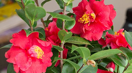 Dei fiori di color rosso