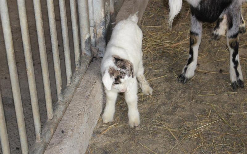 Cucciolo di capra allevamento proprio