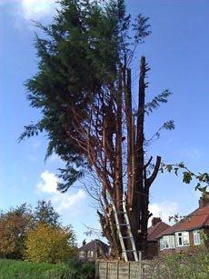 haphazardly grown tree