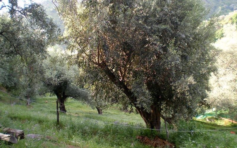 oliveti reggio calabria