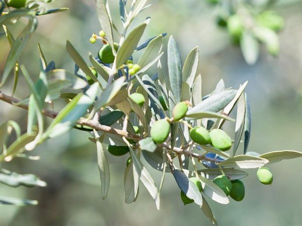 coltivazione olive bagaladi
