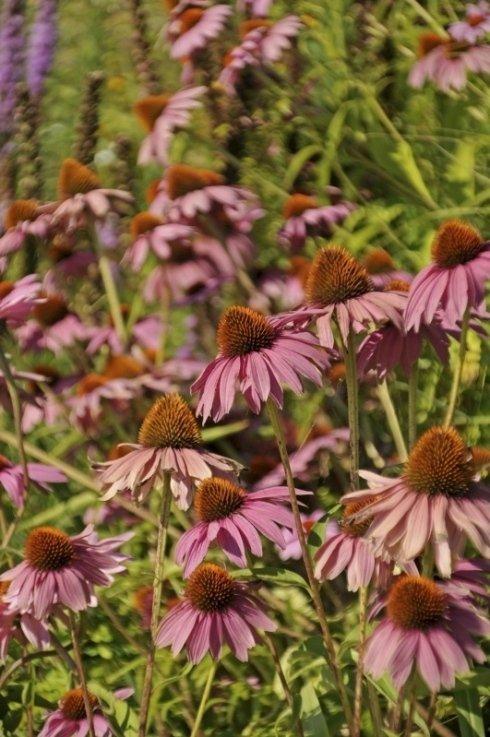 fiori, piante da vaso, piante rampicanti