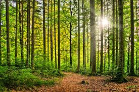 Sustainable wood