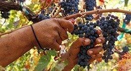 ingrosso uve da vino