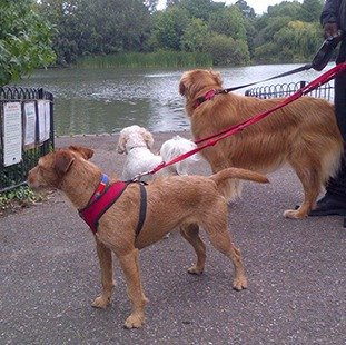 A group of dogs having a walk around a lake
